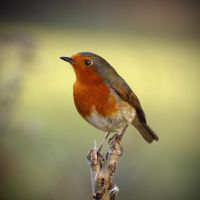 Robin by BlonderMoment