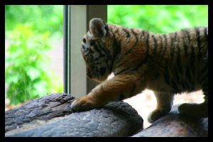 Baby Tiger by AF--Photography