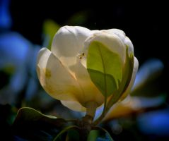 Magnolia Bloom 2 by Tailgun2009