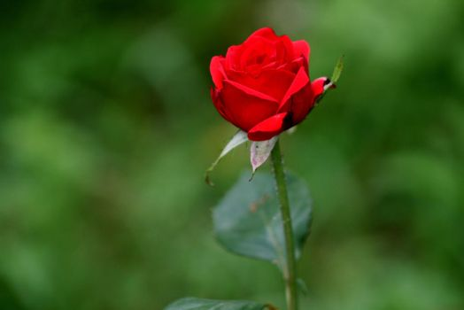 Red rose (LOVE) by GhitaBArt