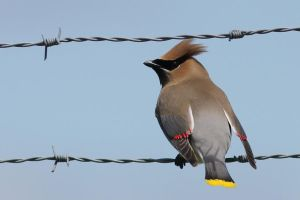 Beauty on Barbed Wire by stubirdnb