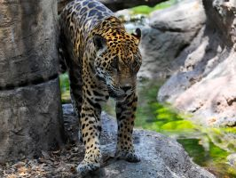 Spotted cat by NB-Photo