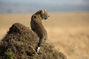 leopard on termite hill by DaSchu