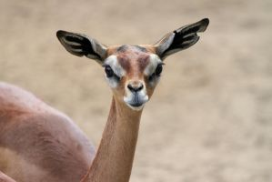 Gerenuk by rainylake