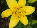 1 yellow Lilly by patty-space