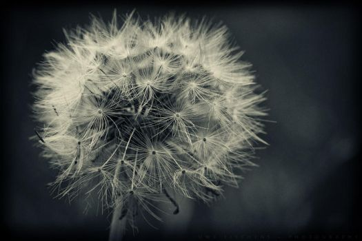 Blowball by Crossie