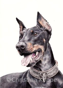 Dobermann by CKArtpage