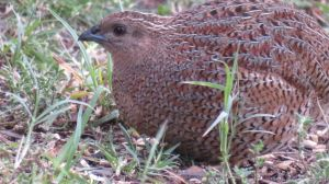 Brown Quail 1-3-17 by BGai
