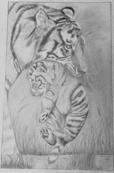 Tiger pencil drawing by nancybraun1997