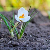 Little white flower by EliseEnchanted