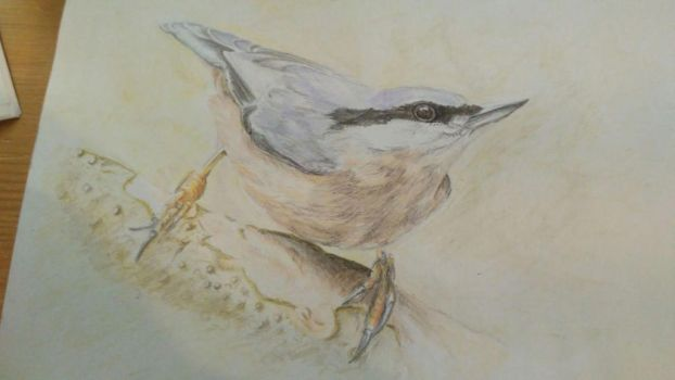 Nuthatch by Sothyque-X