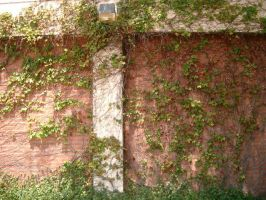 Ivy wall by poisson-stock