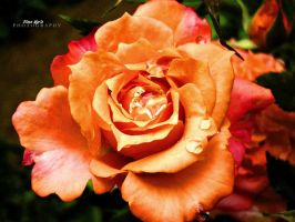 Rose by firefly994