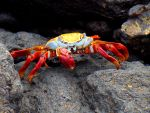 Red and Yellow Crab by AndySerrano