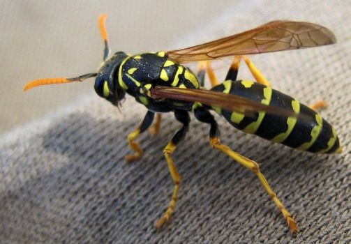 Wasp by MajcheZmajche
