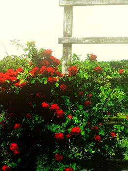 where the wild roses grow by fading--flower