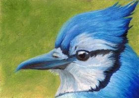Blue Jay ACEO by Artman225