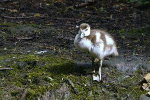 Egyptian Goose Chick by Sycamorewest