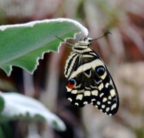 Butterfly1 by Seraerith-stock