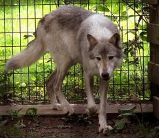 Timber Wolf Stock 8 by HOTNStock