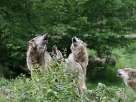 Four wolves howling by Nashoba67