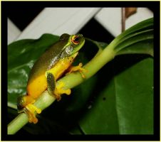Dainty Tree Frog by FNQ