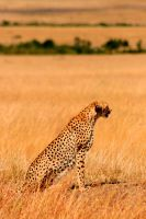 Cheetah (female) by PittuMcflurry