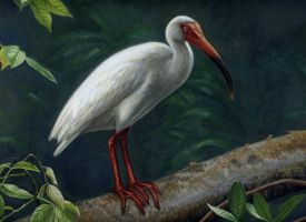 white ibis by bioimagen