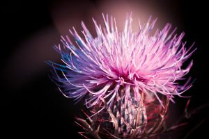 Wild Flower Magenta by bovey-photo