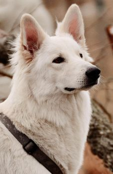 White Shepherd 1 by Lakela