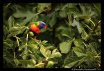 Rainbow Lorikeet II by TVD-Photography