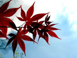 Japanese Red Maple by wearebombs