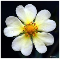 Wild Flower for Ramonab by CTP