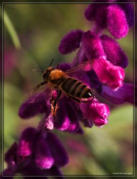 Honey Bee 40D0027084 by Cristian-M