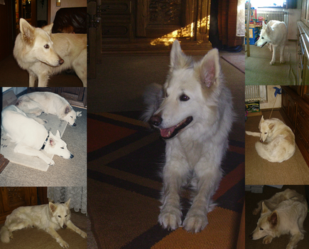 Collage of my Dog Mira by Cookikeks