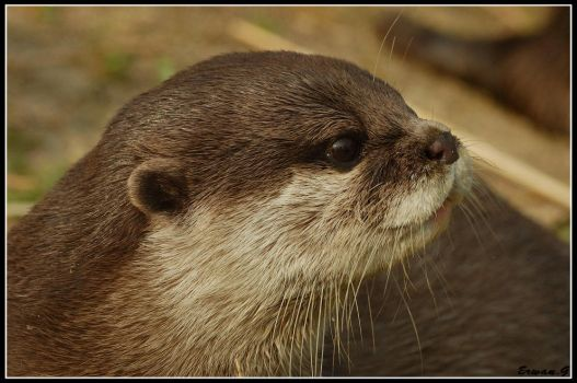 loutre 2 by Balto-Wolf