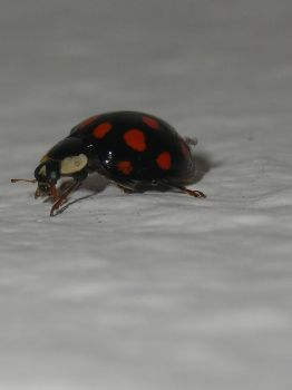 COCCINELLIDAE by Rike3