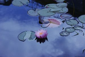 Pond and water lily by hellnicki