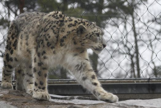 Snow Leopard 35 by CastleGraphics