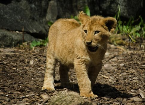 Baby lion by Electrokopf