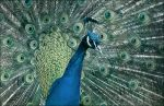 peacock by SuzyTheButcher