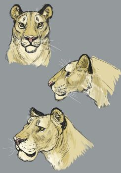Lion Studies by Clairictures