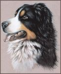 Bernese mountain dog by echoskybound
