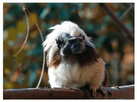 Little Tamarin by Nataly1st