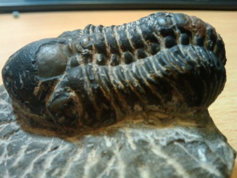 Trilobite Reedops sp. by quicksilver123