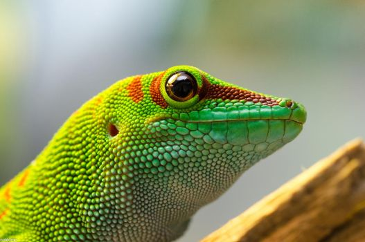 Day Gecko by nakkimo