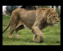 Lion Chase by BethHallewell