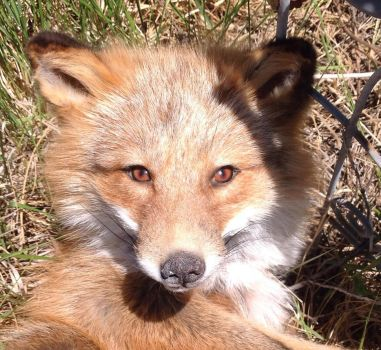 Red fox Close up by Tricksters-Taxidermy