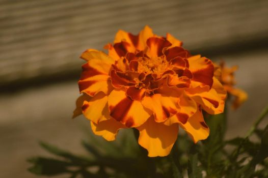 Parti Marigold by Just--Saying