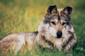 Mexican Wolf 8 by Art-Photo